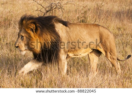 A male lion, with a full, dark mane, is moving through grass. The lion (panthera leo) typically inhabits savanna and grassland, although they may take to bush and forest. - stock photo