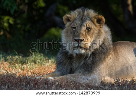 A male lion with a large mane - stock photo