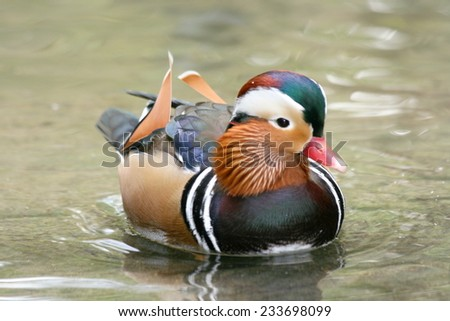 a male Mandarin Duck (Aix galericulata) in water