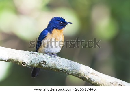A male mangrove Blue Flycatcher on greenish background - stock photo