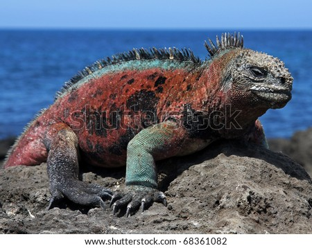 A male Marine Iguana (Amblyrhynchus cristatus) in the Galapagos Islands (Floreana Island) - stock photo