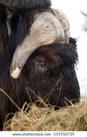 A male Musk Ox gets his fill of feed in winter mountain wildlife landscape background - stock photo