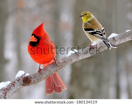 A male Northern Cardinal and an American Goldfinch on a snowy branch. - stock photo
