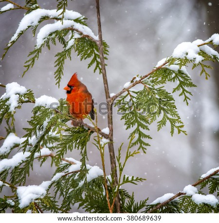 A male Northern Cardinal perched among snow covered branches.