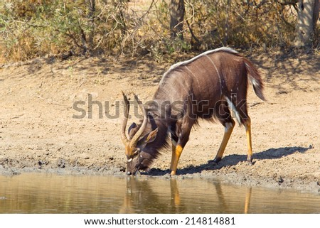 A male Nyala (Tragelaphus angasii) drinking at a waterhole in Hluhluwe Game Reserve, South Africa - stock photo