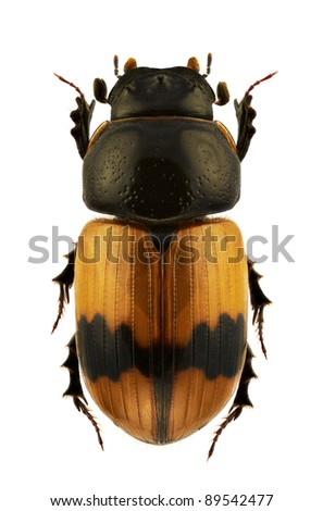 A male of Aphodius coniugatus, dung beetle, isolated on a white background - stock photo
