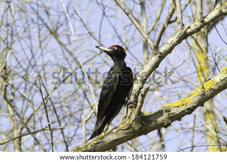 a male of black woodpecker in naturah habitat / Dryocopus martius - stock photo