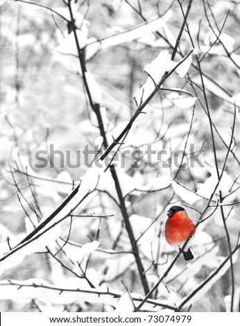 A male of bullfinch resting on a branch, in a winter scene, on a background the winter forest (Pyrrhula pyrrhula) - stock photo