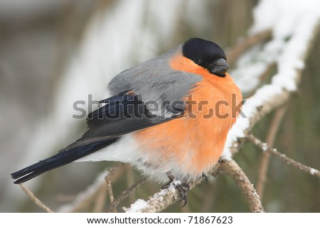 A male of bullfinch resting on a branch, in a winter scene (Pyrrhula pyrrhula). - stock photo