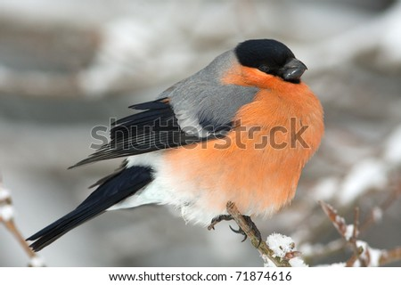 A male of bullfinch resting on a branch, in a winter scene (Pyrrhula pyrrhula) - stock photo
