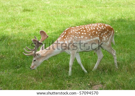 A male of fallow deer ( Dama dama ) eating grass - stock photo