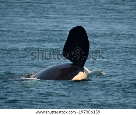 A male orca, or killer whale, does a pec slap. - stock photo