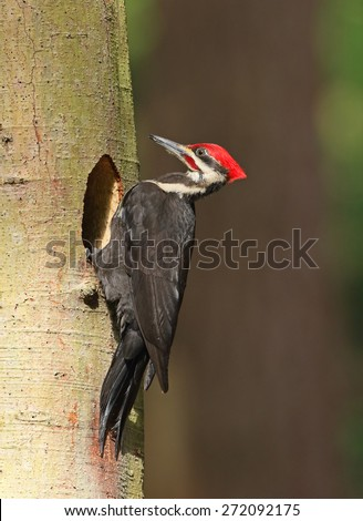 A male pileated woodpecker pauses at the entrance to his nest cavity. - stock photo