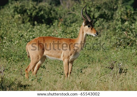 A male puku antelope (Kobus vardonii), Chobe National Park, Botswana, southern Africa - stock photo