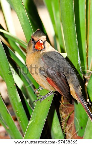 A male pyrrhuloxia perched on a green leaf - stock photo