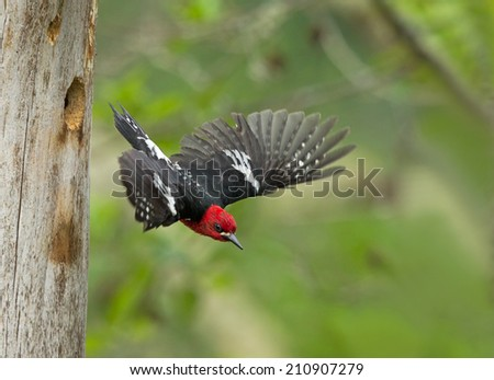A male red-breasted sapsucker flies from its nest cavity after having fed it young. - stock photo
