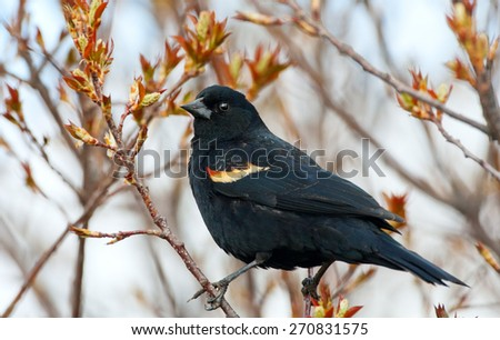 A male Red-Winged Blackbird perched in a tree whose leaves are just beginning to bud.  Early spring near Medicine Hat, Alberta, Canada. - stock photo