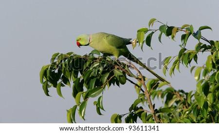 A male Ringnecked Parakeet, Dubai, United Arab Emirates. - stock photo