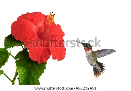 A male Ruby- throated hummingbird (Archilochus colubris) at a hibiscus flower isolated on a white background. - stock photo