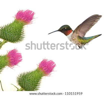 A male Ruby- throated Hummingbird (Archilochus colubris) at pink field thistles isolated on a white background.