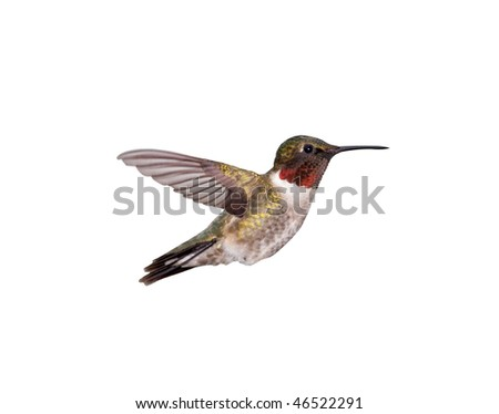 A male Ruby-throated Hummingbird hovering. Isolated on a white background. - stock photo