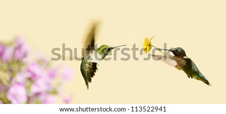 A male ruby throated hummingbird surprising a pretty female with a gift of a flower. - stock photo