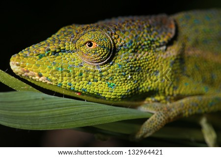 A male Side-striped or Perinet Chameleon (Calumma gastrotaenia) in the Ranomafana rain forest of Madagascar at night. - stock photo