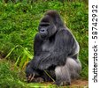 A male silver back gorilla sitting holding a piece of bamboo - stock