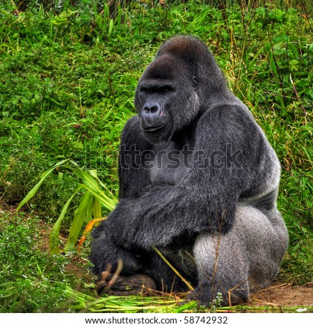 A male silver back gorilla sitting holding a piece of bamboo