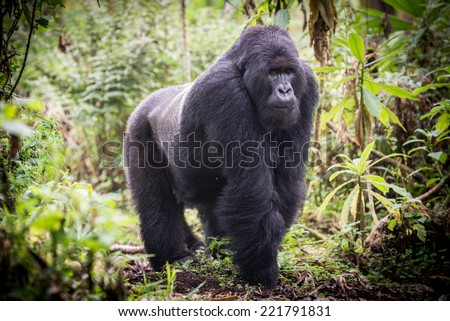 A male silverback mountain gorilla in the Volcanoes National Park, Rweanda - stock photo