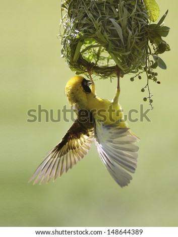 A male Southern Masked Weaver bird hanging from his nest fluttering his wings - stock photo