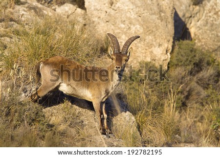 A male Spanish (Iberian) Ibex or Wild Goat (Capra pyrenaica) in mountain grassland, Andalusia, Spain