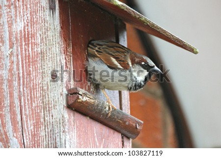 A male sparrow (passer domesticus) leaving a next box. Photo taken in the UK. - stock photo