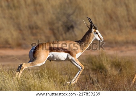 A male Springbok (Antidorcas marsupialis) pronking, against a blurred natural grassland setting, South Africa - stock photo