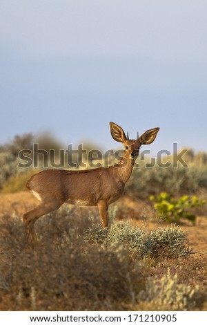 A male Steenbok (Raphicerus campestris) stood in desert bush looking straight at the observer - stock photo