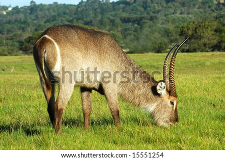 A male waterbuck with big horns grazing in a game park in South Africa - stock photo