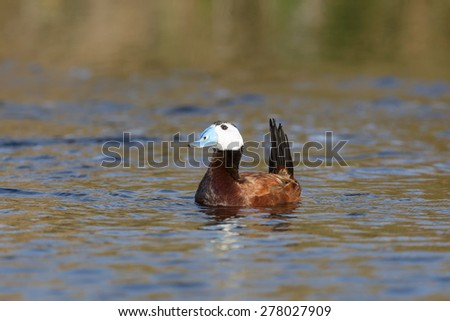 A male White headed Duck (Oxyura leucocephala) in alert posture with tail raised, against a blurred background of water, Andalucia, Spain - stock photo