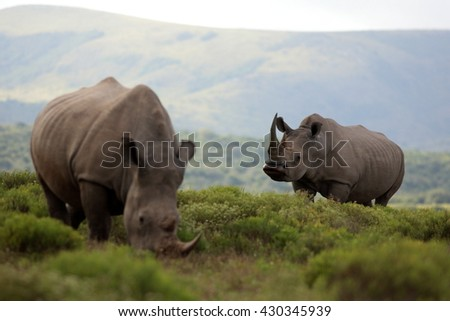 A male white rhinoceros / rhino follows a female white rhino / rhinoceros. He opens his lips and smells. Taken on safari in South Africa - stock photo