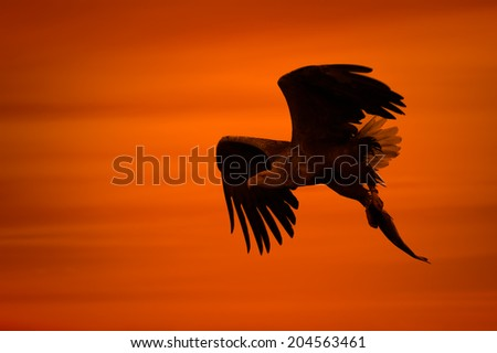 A male White-tailed Eagle in silhouette against the sunset sky, flies back to the nest with a final catch of the day to feed his growing chicks with. Droplets of water can be seen trailing behind. - stock photo