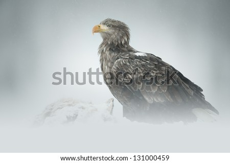 A male White-tailed Eagle standing guard over a road-kill Red Fox in deep snow high in the Flatanger mountains of central Norway. - stock photo
