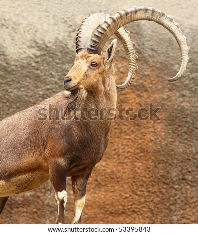 A male wild goat stands alert on a rocky cliff. - stock photo