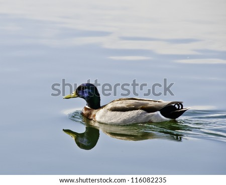 A Mallard swims in a park pond in Utah. - stock photo
