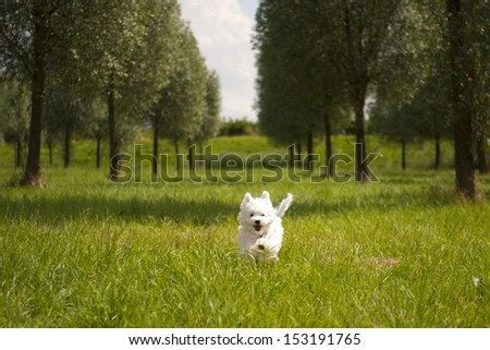 a maltese running on grass, outside - stock photo