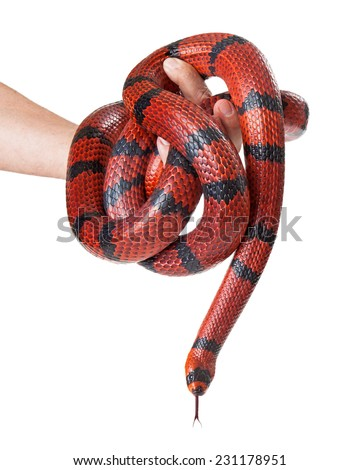 A man holding a large red Hungarian milk snake that is curled around his hand - stock photo