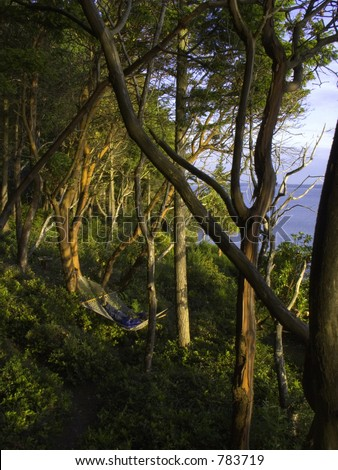 A man in hammock in sun setting forest with lots of reddish bark trees. - stock photo