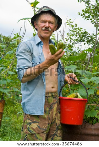 A man is plucking cucumbers on a garden.