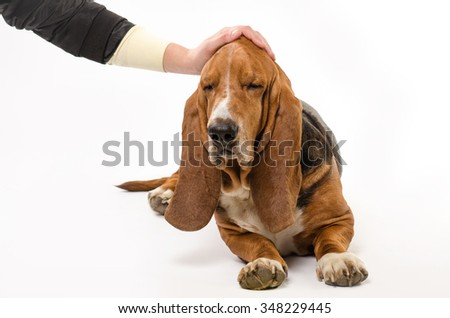 A man is stroking dog Basset Hound with the hand - stock photo