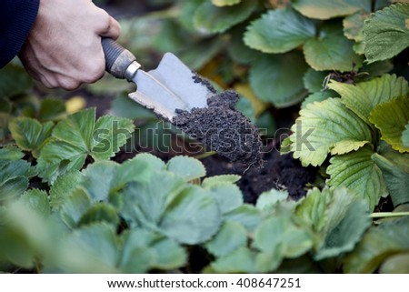 A man planting strawberry plants - stock photo