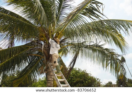 A man up a tree picking coconuts - stock photo