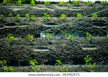 A man walking between carefully cultivated green sprouts and sprays insecticides. Natural agricultural scene.
